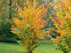 Parrotia persica  red/yellow/purple autumn colour