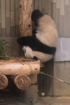 'Epic Panda with hammer' by Rhoar Cutest Animals On Earth, Animals And Pets, Funny Animals, Cute Animals, Crazy Animals, Panda Chow Chow, Fat Panda, Baby Panda Bears, Panda Love
