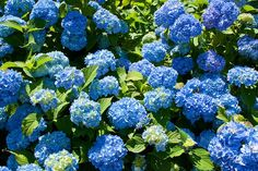 10 Popular Types of Hydrangeas - Growing Tips & Photos | Green and Vibrant Hydrangea, Flowers Perennials, Plant Health, Types Of Hydrangeas, Hydrangea Macrophylla, Panicle Hydrangea, Showy Flowers, Most Beautiful Flowers, Fall Plants