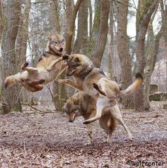 Finally photographic evidence of Canada's legendary levitating wolves.                                                                                                                                                                                 More