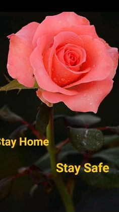 Rose Flower Pictures, Hd Flowers, Rose Flower Wallpaper, Rose Gold Wallpaper, Red Rose Flower, Exotic Flowers, Good Night Flowers, Good Morning Beautiful Flowers, Good Morning Roses