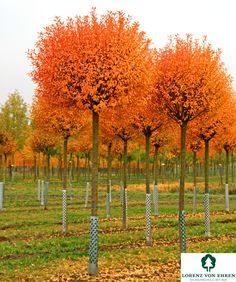 Prunus fruticosa 'Globosa' | Baumschule Lorenz von Ehren - Baumschulen seit 1865 - Wir lieben Bäume