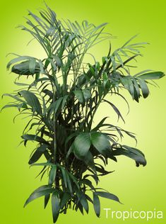 How to Grow Cat Palms -Cataract Palm | Houseplant 411 - How to Identify and Care for Houseplants
