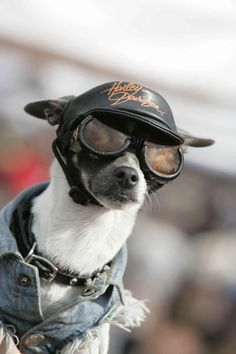 Harley Davidson Dog with Jeans Jacket Cap and Google Glasses #HDNaughtyList