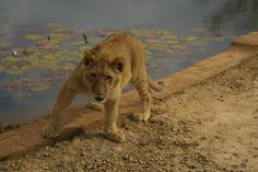 Taken at Horseback Africa - this lion cub taking a breather by the pond Lion Cub, Kruger National Park, Lonely Planet, Big Cats, Cubs, Lions, Travel Guide, South Africa, Wildlife