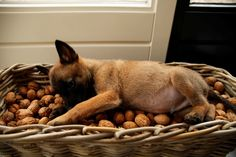 Doesn't fit in the walnut basket anymore! German Malinois, Belgian Malinois Puppies, Pet Dogs, Dogs And Puppies, Dog Cat, Doggies, Belgian Shepherd, Shepherd Dog, Belgium Malinois