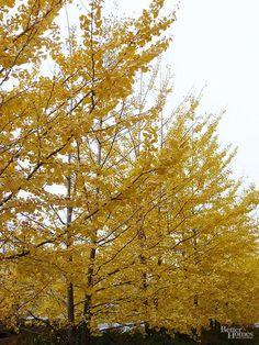 Maple Genus  Letters