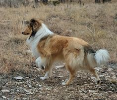 Titus-Angus Scotch Collie, The Perfect Dog, Rough Collie, Chicken Runs, Sheltie, My Animal, Livestock, Animal Kingdom, Corgi