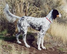 Llewellin Setter Information and Pictures, Llewellin Setters, Llewellin, Llewellins