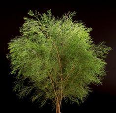 Bribie pine