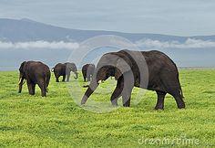 Herd of elephants grazing in the Ngorongoro Crater on Africa