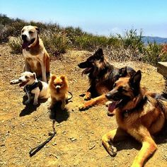 Gorgeous day at #westridge with Brecken Wrigley Simba Max and Freddy #canyonhikes #fitdog