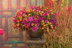Caribbean Day by Proven Winners for the Sun. Supertunia® Vista Fuchsia Petunia hybrid Qty:2.  Luscious® Berry Blend™ Lantana camara Qty:2