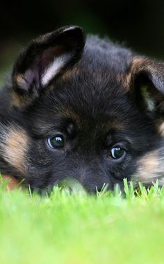 GSD  Cutest baby ever!