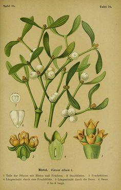 mistletoe Esser, P.H.H., Die Giftpflanzen Deutschlands, t. 78 (1910) [W. Müller]