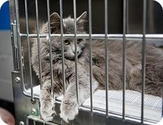 Pictures of Gray Persian mix a Domestic Longhair for adoption in MARION, VA who needs a loving home. Nebelung, Kinds Of Cats, Friesian Horse, Cat Boarding, Cat Breeds, Pet Adoption, Persian, Dog Cat, Kitten