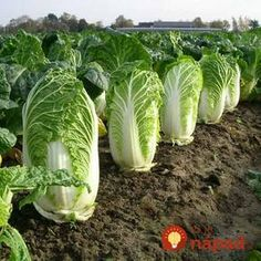 500 Chinese cabbage seeds, green vegetable seeds for healthy bok choy seeds for farm garden plants Asian Vegetables, Healthy Vegetables, Organic Gardening, Gardening Tips, Texas Gardening, Gardening Quotes, Greenhouse Gardening, Container Gardening, Albizia Julibrissin