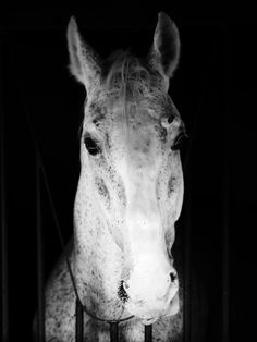 Lipica Horse