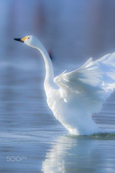 Swan Lake - null