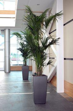 Grote plant in woonkamer Hoeft niet deze te zijn maar moet wel in ...