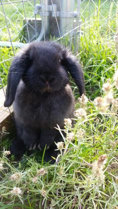 Holland Lop bunny,  black bunny, lop ear bunny, bunnies, black holland lop, rabbits, black rabbits