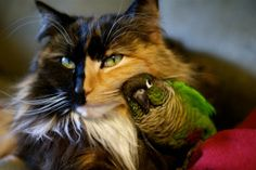 Tortie Cat and Cuddly Parrot I Love Cats, Cute Cats, Funny Cats, Funny Animals, Cute Animals, Gato Animal, Mundo Animal, My Animal, Odd Animal Couples