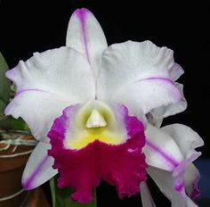 """Blc. Mem. Anna Balmores Orchid Plant [CAT400] Blc. Hawaiian Progress """"Carmela is one of the newest Large Purple Cattleya's to come out of Hawaii. This orchid is a vigorous grower and a prolific FRAGRANT bloomer. It consistently blooms off on each new growth and flowers are at least 6-7 inches in diameter. http://www.larrysorchidsstore.com/servlet/the-1794/Blc.-Mem.-Anna-Balmores/detail"""