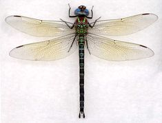 Dragonfly Drawings | ... 2010 at 1406 × 1069 in Migratory Dragonfly Species – Common Species