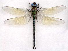 dragonfly wings pattern - Buscar con Google