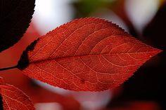 Prunus, Trees And Shrubs, Plum, Plant Leaves, Cherry, Circulatory System, Almonds, Peaches, Stone