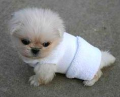Little white Pekingnese pup! Look, he is wearing a sock! This is the next dog I want but I want a sable or party color