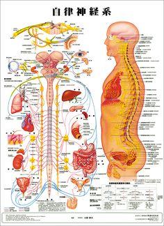 「人体模型図 内臓」の検索結果 - Yahoo!検索(画像)