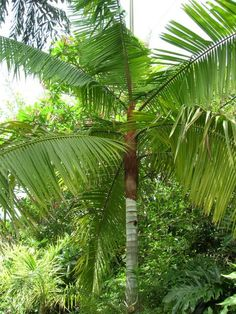 Dypsis leptocheilos (Teddy Bear Palm)