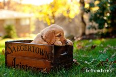 golden retriever puppy (8 weeks)!!!