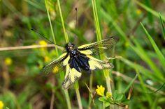 'Eine Libellen-Schmetterlingshaft am Grashalm' von Ronald Nickel bei artflakes.com als Poster oder Kunstdruck $7.13