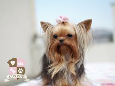 Male Yorkshire Terrier -