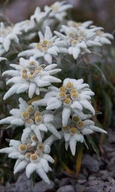 German Tattoo, Alpine Flowers, Edelweiss, Flower Aesthetic, Butterfly Art, Botany, Bonsai, Aesthetic Wallpapers, Outdoor Gardens