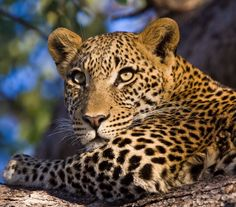 Leopard-Tubu-Tree-Okavango-Delta-Botswana-Safaris by Bushtracks