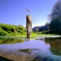 trout and dragonfly