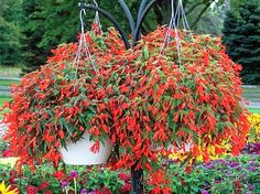 ~ Featured Plant of the Week – Santa Cruz Begonia Hanging Baskets ~  Our fiery red-orange, Santa Cruz Sunset Begonia hanging baskets are full sun plants that are wonderfully heat tolerant and can handle moderate drought. Their brilliant, red-orange blooms will cover the plant until frost! They look great in a hanging basket, in a pot, or in your garden.