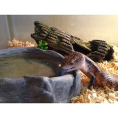 How do i get my parents to let me get a blue tongued skink?