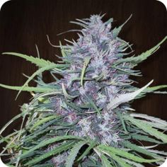 Golden Tiger - strain - Ace Seeds | Cannapedia