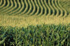 corn, corn everywhere....