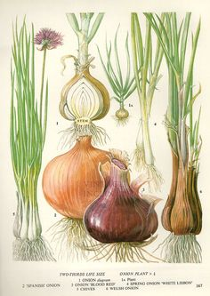 Vintage Botanical Print Antique ONION CHIVES by VintageInclination, $9.98