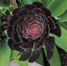 Black Succulents Are Going to Be Your New Favorite Halloween Decoration Black Succulents, Cacti And Succulents, Planting Succulents, Real Plants, Air Plants, Indoor Plants, Indoor Gardening, Growing Plants, Succulent Soil