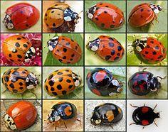 ladybugs......@Amelia Rosales Sánchez Stone Cagle