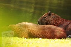 Free Pictures, Free Images, Capybara, Brown Bear, Mammals, Character Design, Wildlife
