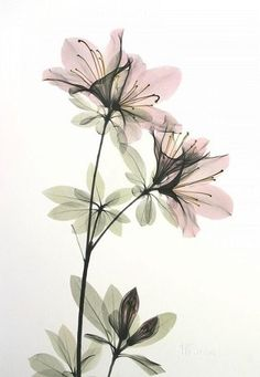Flower X-ray by Albert Koetsier pinned with Bazaart