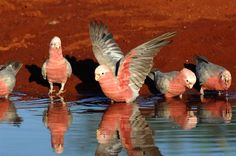 Parrots in the Land of Oz - Introduction - Australian Parrots Fun Facts About Animals, Animal Facts, Funny Birds, Cute Birds, Most Beautiful Animals, Beautiful Birds, Galah Cockatoo, Australian Parrots, Birds In The Sky