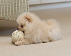 Pomeranian puppy Charly, playtime